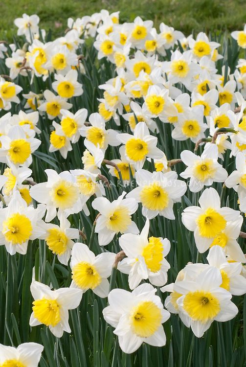 December birth flower Narcissus