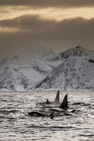Orcas Norway Tromsø