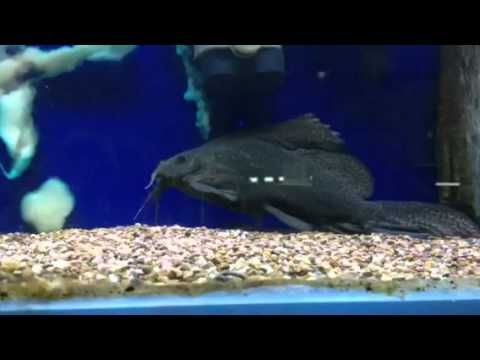17 best images about catfish videos on pinterest swim for Fish tank catfish