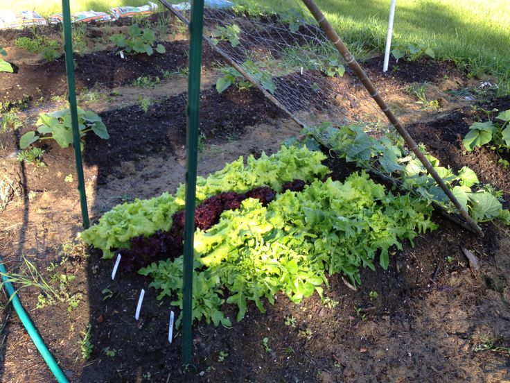 Those cukes will shade the lettuce from strong sun
