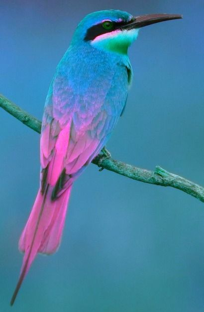 Blue Tailed Bee-Eater bird - from tr3slikes: