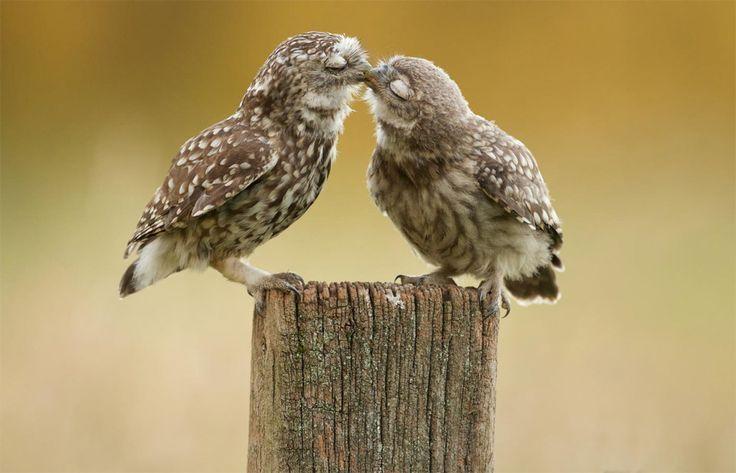 two pretty owls kissing
