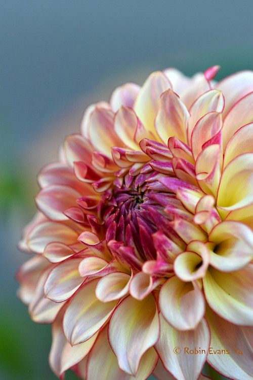 lhs gems mystery festival 576 best colored pencil dahlia images on pinterest flowers