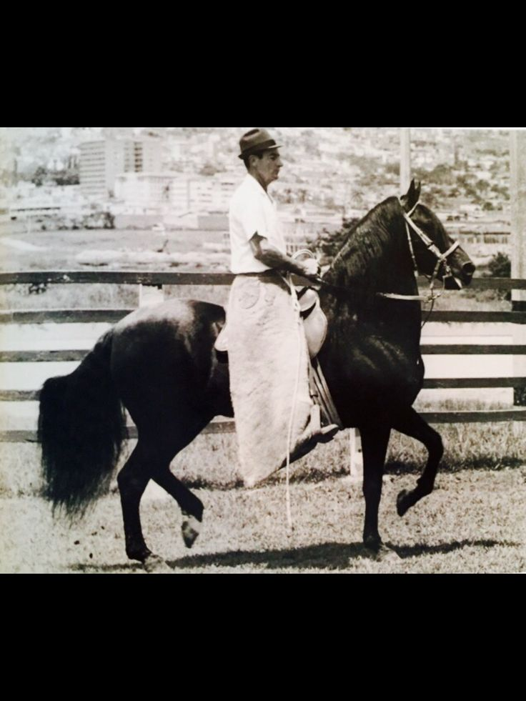 RESORTE III, foundation Sire. Sire of Sires. Colombian Paso Fino Stallion,  Breeder: Ruben Brion. CALI.Owned by: Fabio Ochoa, Medellin.he sold the horse to Enrique Vasquez, Pasto. Enrique sold the horse to Rafael (rafi) Rivera from Puerto Rico. Rider: Luis Alfredo ochoa. (Picture) at the time of the picture the horse was owned by Enrique Vasquez. (Pasto) RESORTE III, Sire of RESCATE, RESORTE IV, ISLERO, PACHECO and many other important stallion and mares. December 29 1969