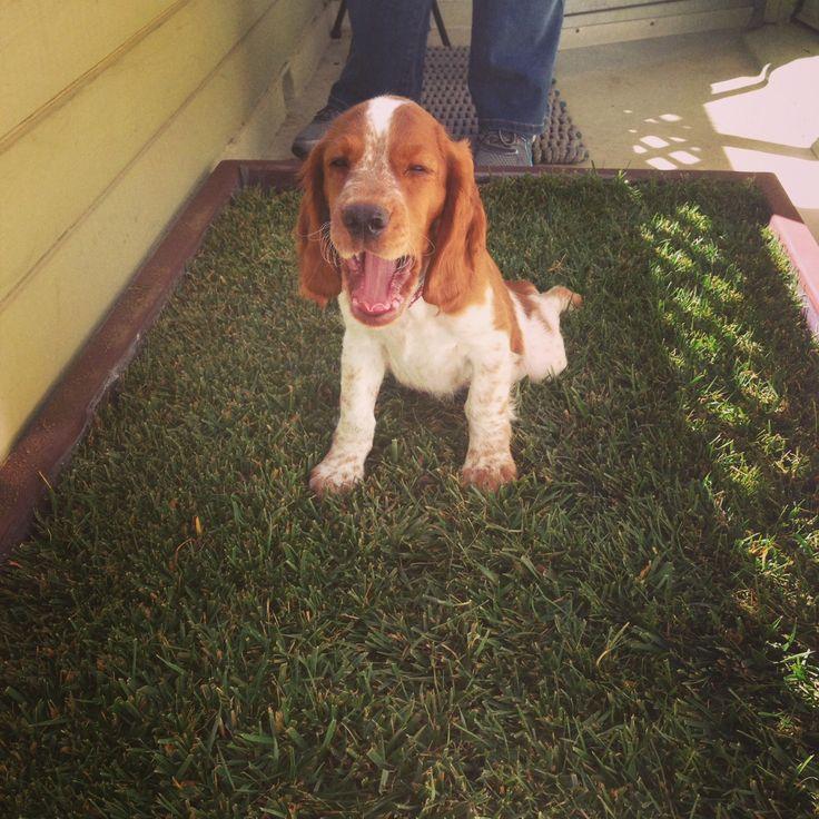 Natural Grass Indoor Dog Potty
