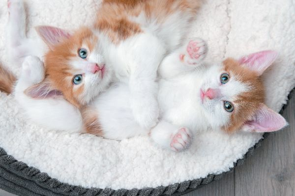 How To Care For An 8 To 12 Week Old Kitten Sleeping Kitten 12 Week Old Kitten Kittens Cutest