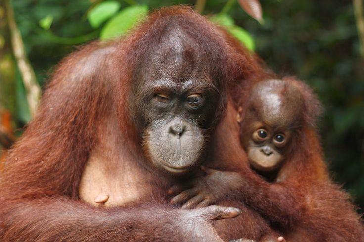 Grainne and Jason's Worldwide Adventures: Sepilok Orangutang Rehabilitation Center, Borneo