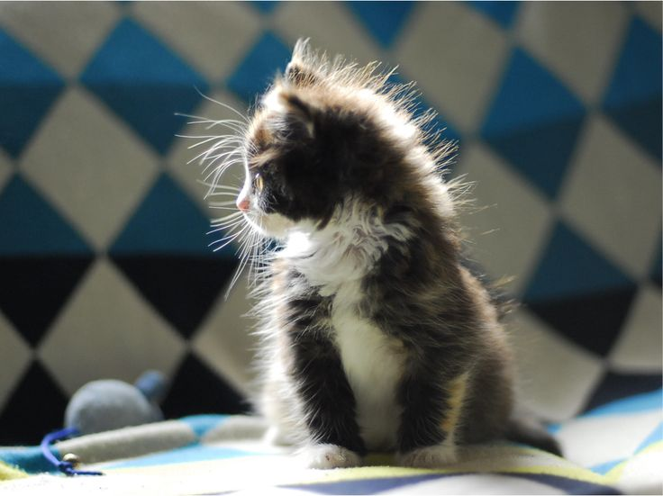 Fluffy kitten in sunshine @ www.fluffyorfuzzy.com