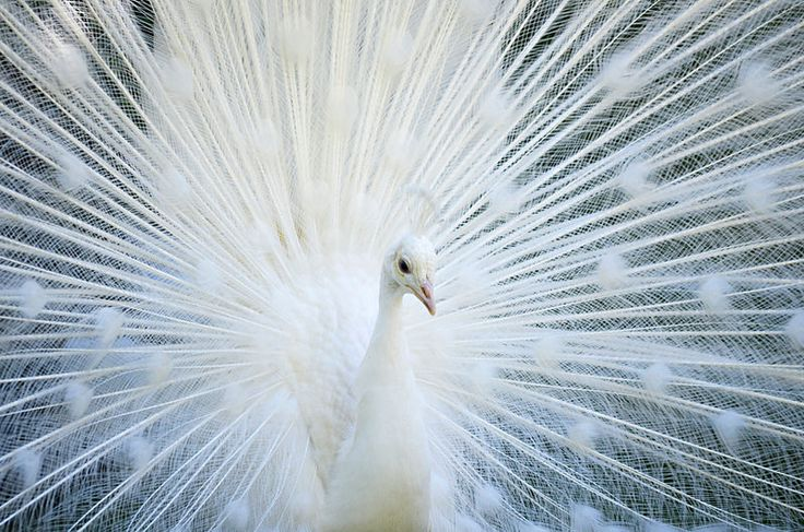 White Peacock, Lake Maggiore, Italy