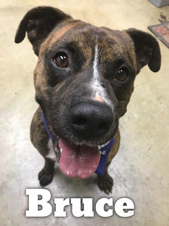 Bruce - URGENT - Richland County Dog Warden in Mansfield, Ohio - ADOPT OR FOSTER - Young Male Pit Bull Terrier/Boxer Mix - At shelter since February 3, 2017 - I am a young guy with lots of energy. I was temperament tested with other dogs and passed with flying colours. I know some basic commands and I am a very happy guy. I am an amazingly smart guy!!  Hurry in to meet me.