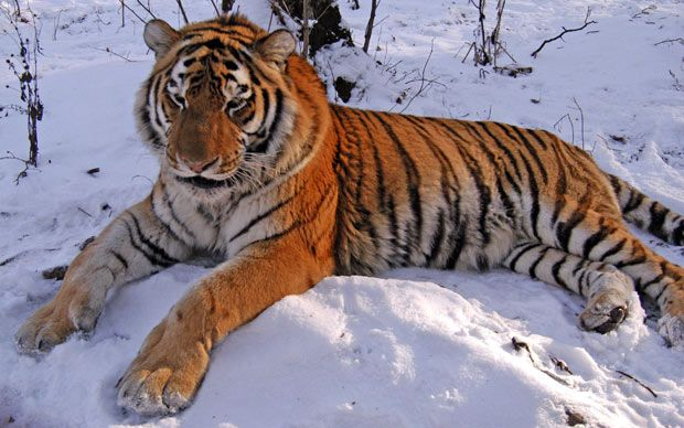 caspian tiger | Tiger to return to Central Asia - Telegraph
