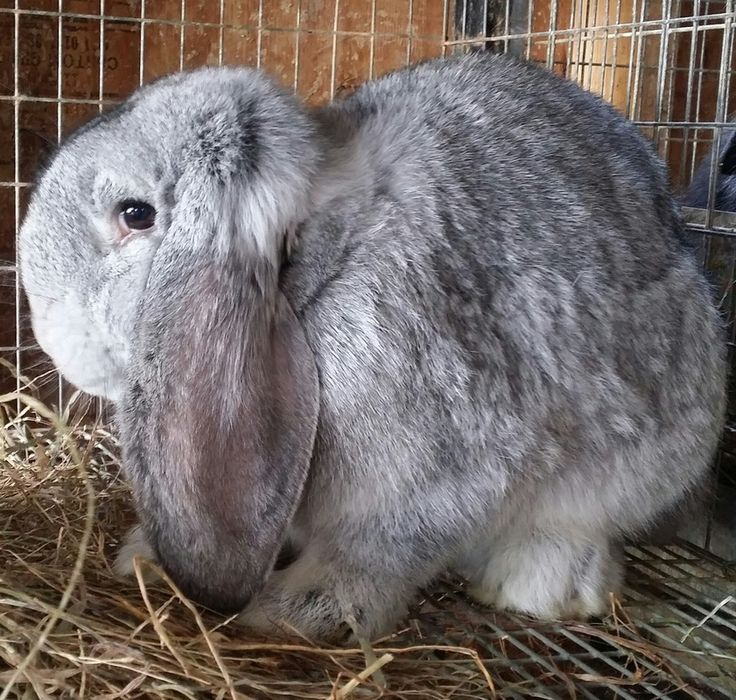 The 25+ best ideas about French Lop on Pinterest | Bunny ...