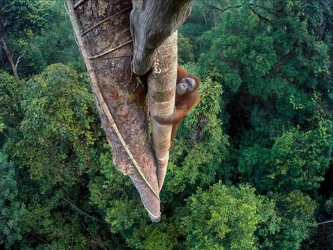 Entwined Lives, Tim Laman, USWinner, wildlife photographer of the year A young male orangutan makes the 30-metre climb up the thickest root of the strangler fig high above the canopy in Gunung Palung national park, one of the few protected orangutan strongholds in Indonesian Borneo. Laman had to do three days of climbing to position several GoPro cameras that he could trigger remotely. This shot was the one he had long visualised, looking down on the orangutan within its forest home.