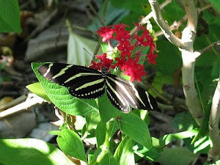 The State Butterfly for Florida is the Zebra Longwing. It has long, narrow wings with distinctive black and yellow stripes.    It's difficult to miss as it gently flies flower to flower. Zebra Longwings are most abundant here in South Florida and are one of our longer lived butterflies, having a life span of several months as compared to weeks for other species. As you travel about Lehigh look for the distinctive markings of the Zebra Longwing. -AstronomyGal