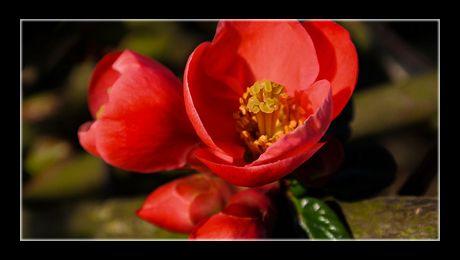 Gutuiul japonez (Chaenomeles japonica) este un arbust fructifer și decorativ, din familia Rosaceae, înrudit cu gutuiul autentic (Cydonia oblonga), dar aparținând unui gen diferit. Fructele sunt niște poame mici, de culoarea gutuii, în formă de măr, comestibile...