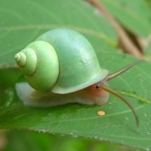 Tropical Lime Snail
