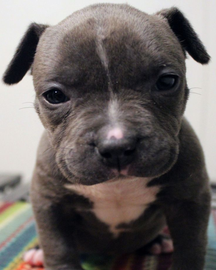 Pin on Xl blue pitbull puppies for sale