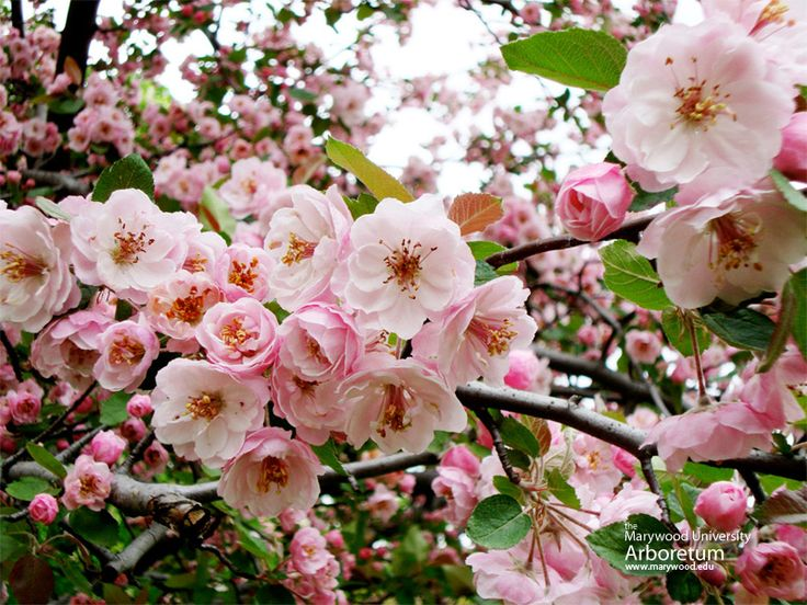 Landscaping Shrubs With Pink Flowers : Garden plants pink flowers shrubs angel forward brandywine crabapple