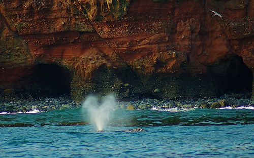 Grey Whale mother and calf: this is like what I saw at Kiama 2/10/13 amazing!