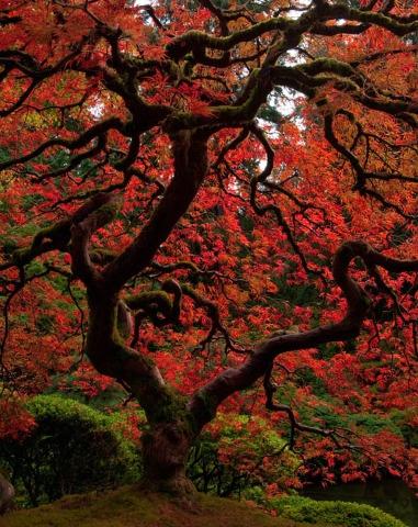 japanese mapleJapanese Maple, Art Landscapes Image, Japanese Gardens, Japan Maple, Beautiful Japanese, Gorgeous Japanese, Entitlement Japanese, Oregon Japanese, Japan Gardens