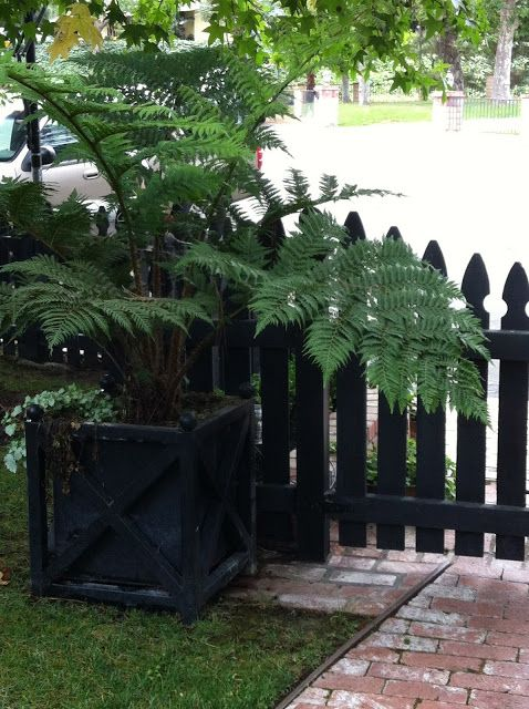 Beautiful Fern.  Would not have thought of putting this type in a planter.  Love the black planter.