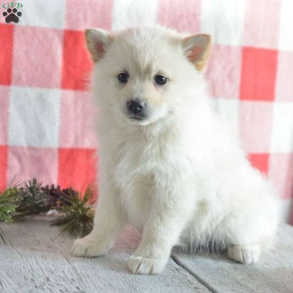 Raven Pomsky Puppy For Sale In Ohio Pomsky Puppies Pomsky Puppies