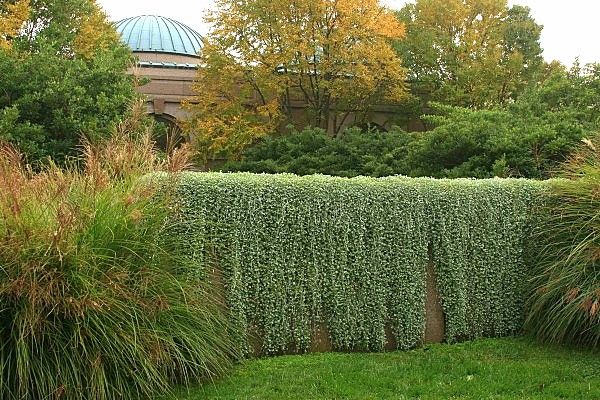 """""""Silver Falls"""" dichondra. Not only does it serve as a silvery ground cover, it's simply irresistible hanging from a tall perch. Who says a glittering waterfall has to be liquid?"""
