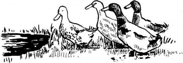 Ducks - Agriculture