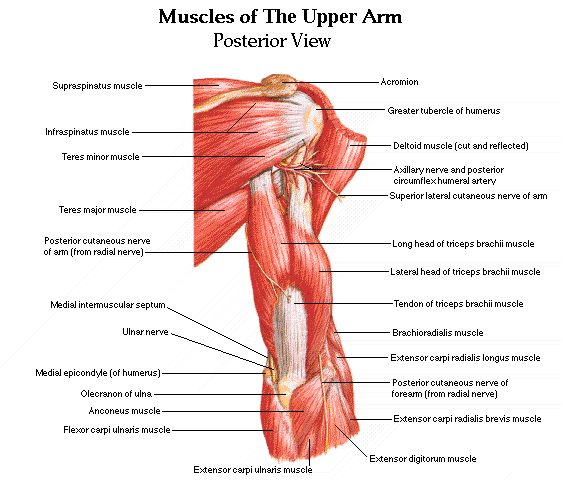 Arm Muscle Diagram Posterior View - Search For Wiring Diagrams •