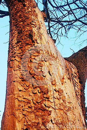 The detail from Šalinac lye near the town of Smederevo in Serbia with old trees of oak