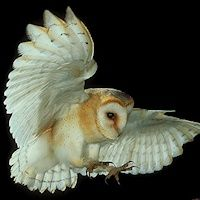 Barn Owl Listed as threatened under the Endangered Species Act