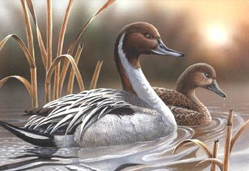 """Pintails"" by Tom Wood"