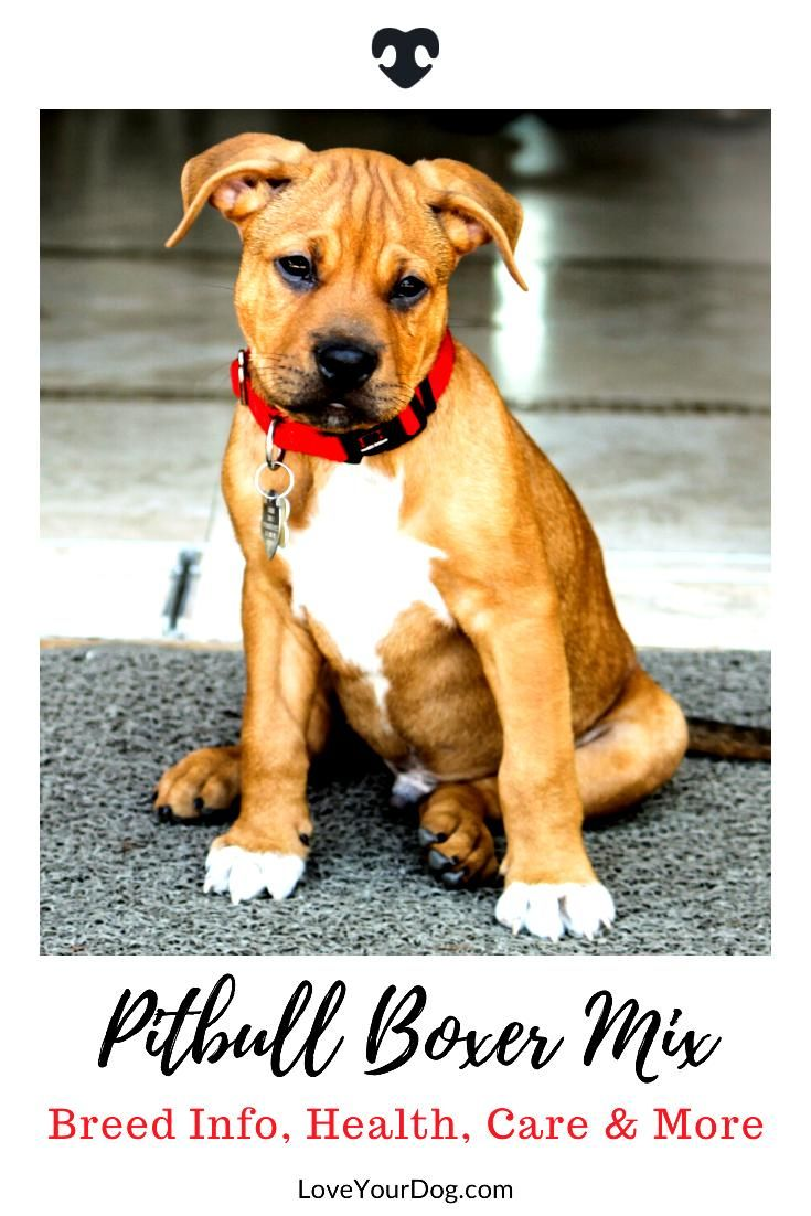 Pitbull Boxer Mix Breed Information Personality Puppies More In 2020 Pitbull Boxer Mix Pitbull Boxer Boxer Mix Puppies