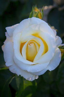 BANCO DE IMAGENES: 12 fotos de rosas blancas - White roses to share