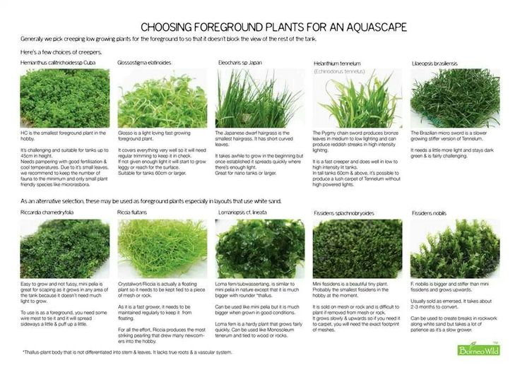 Aquatic foreground plants aquascaping nano aquariums for Freshwater pond plants