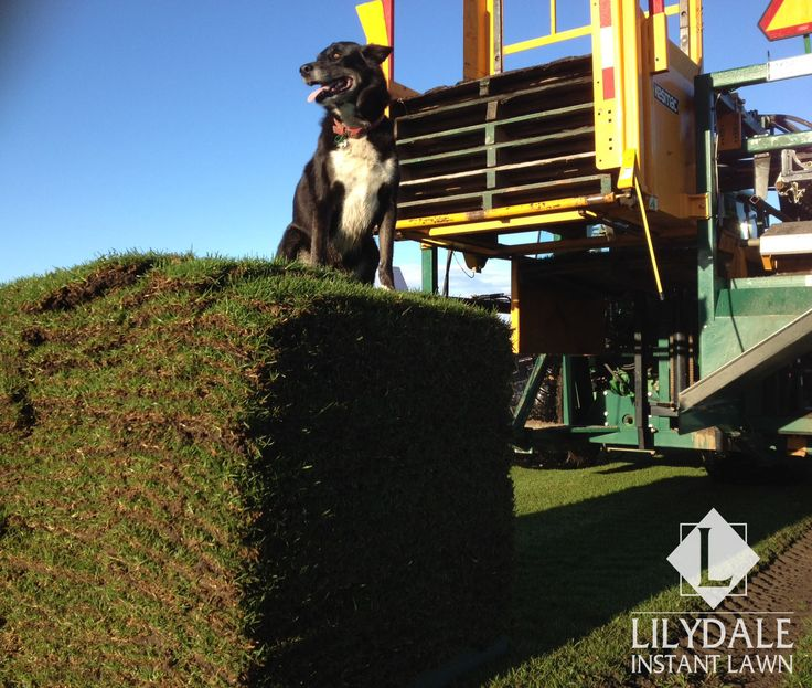 Lilydale Instant Lawn Care | Love your lawn | Great grass | Lily & Dale | Follow us | Garden Tips & Advice | Contact us | Lawn Solutions Australia  Lawn Supplier | Instant Turf |Sir Walter Buffalo DNA Certified | Lawn Solutions Australia | Online Store | Local Pick up & Delivery | Lawn Care | Turf Farm | Melbourne | Victoria | Garden | Grass