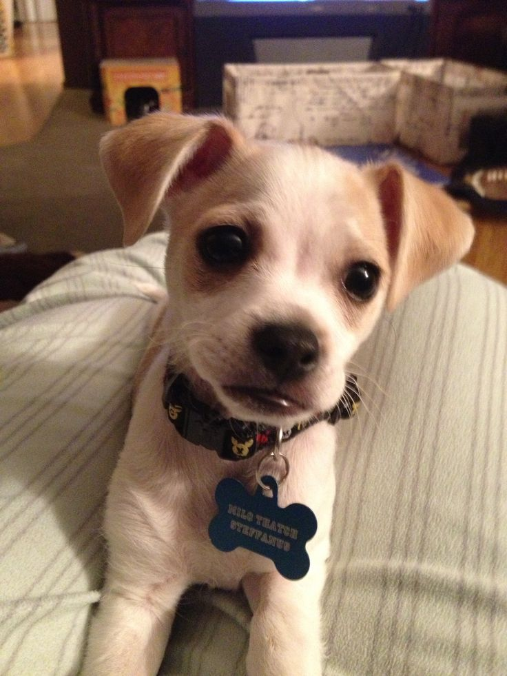 chiuaua jack russell terrier mix the 25 best chihuahua mix ideas on pinterest chihuahua 2464