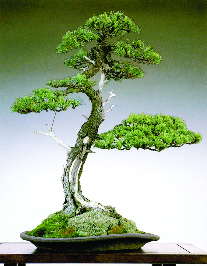 657 best images about arboretum on pinterest trees for Most expensive bonsai tree ever