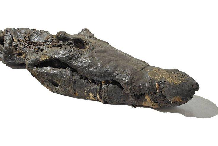 Escaneando Sobek: Múmia do deus crocodilo à vista no Museu Britânico em Londres  Dentes Afiados e Senhor do Medo. Sobek, um velho crocodilo mumificado de 2500 anos, adorado em vida pelos antigos egípcios como uma encarnação do deus crocodilo, e mumificado com a devida reverência após a morte.  Os antigos egípcios adoravam este crocodilo como a encarnação do Sobek, o deus crocodilo, e muitos foram mumificado após a sua morte.  Esta exposição Asahi Shimbun centra-se em um exemplo do Museu…