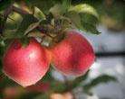 Batlow Apples....yummmmmyyy <3 them