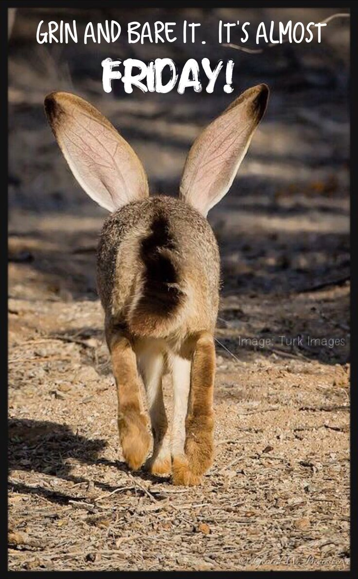 Funny rabbit funny rabbit pictures pictures of rabbits funny - South End Of A Northbound Black Tailed Jackrabbit Buckeye Arizona