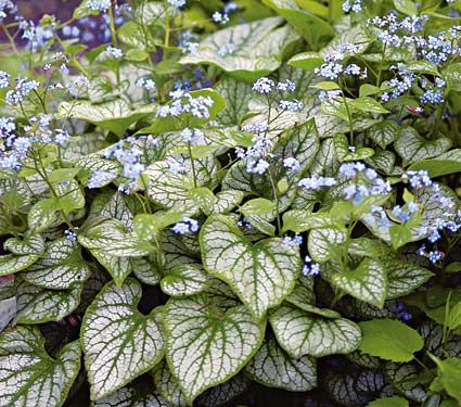 "Siberian Bugloss. Brunnera macrophylla Jack Frost. 12"" high, 15-18"" wide.  Full or part shade.  May-June blooms.  Moist soil."
