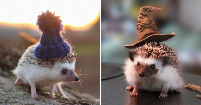 Happy Hedgehog day! Hedgies are possibly the cutest little animals with vampire teeth in the whole wide world. These spiky yet adorable pets are not only great photo models but have an amazing taste in fashion. Take a look at 15+ pictures of hedgehogs that are simply rocking those hats.
