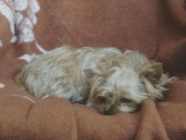 @kiritayorkie : Hoy toca aplastarse hace mucho frío!  Y vosotros estáis pasando frío amidogs?   #dog #dogs #puppy #doginstagram #doglove #instadog #cutedog #puppydog #dogstagram #dogsofinstagram #instapic #picoftheday #perro #perros #perrosdeinstagram #mipe https://t.co/9zb4q8Snil https://t.co/6GjqfbbRKr