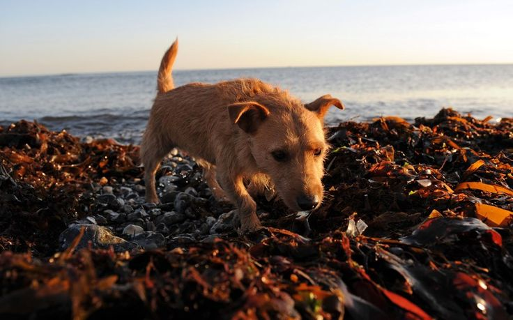 Dog owners warned of lethal dangers of dried up seaweed