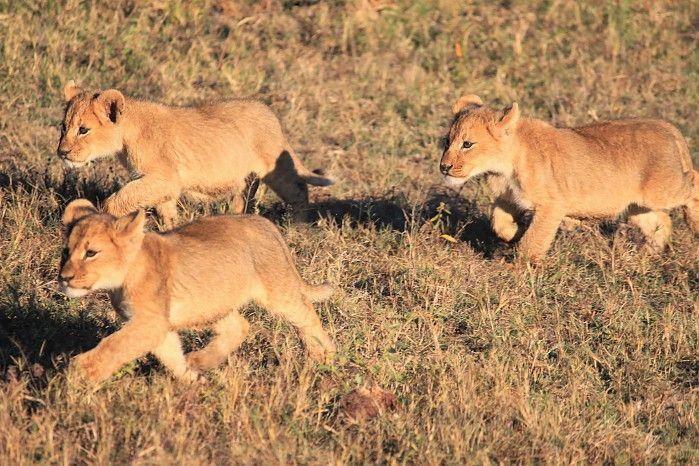 Lion cubs at Davisons #Hwange Zimbabwe