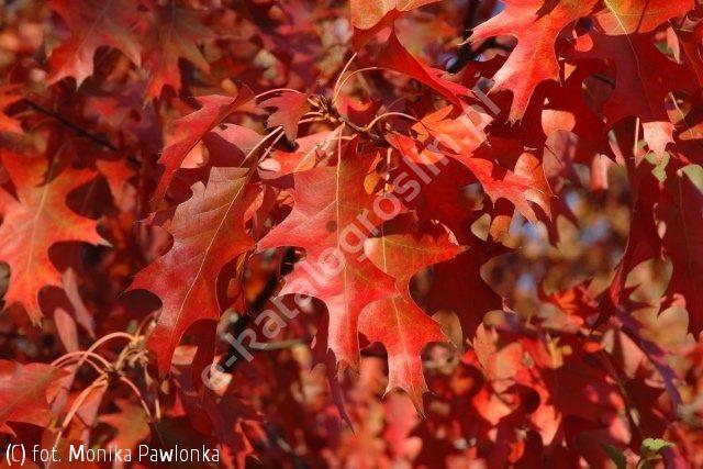 dąb czerwony - Quercus rubra | Katalog roślin - e-katalog roślin