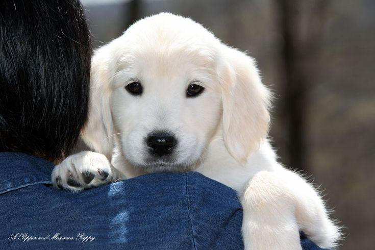 White Golden Retriever Puppies, English Cream, AKC