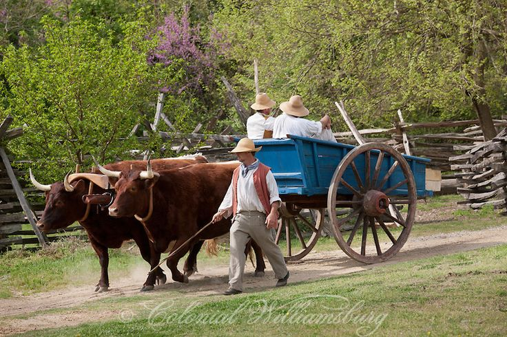 Cow Pulling Wagon : Oxen pulling a cart rare breeds pinterest colonial