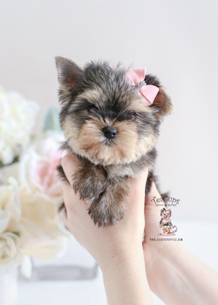 Yorkie Puppy For Sale Teacup Puppies 196 Yorkshire Terrier Puppies Yorkie Puppy Yorkie